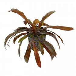 Echinodorus Horemanii Red Aquadip