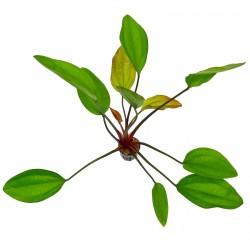 Echinodorus ipica Aquadip
