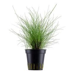 Eleocharis parvula Tropica Dwarf Hairgrass
