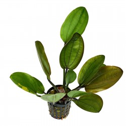 Echinodorus Compacta Aquafleur