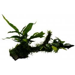 Aquafleur Driftwood with Anubias Microsorum & Moss Large