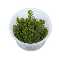 Tropica Rotala rotundifolia 1-2-GROW