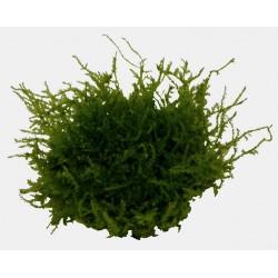 Vesicularia montagnei Christmas Moss AQUADIP In-Vitro