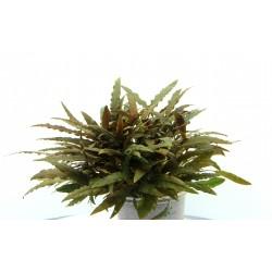 Cryptocoryne wendtii Kompakt (in vitro) Dennerle plant-it!