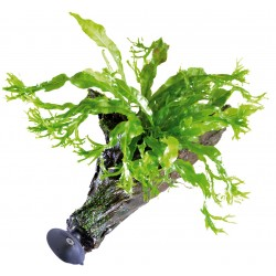 Floating Driftwood with Windelov Java Fern XS Aquafleur