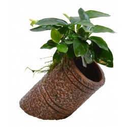 Deco Pipe with Anubias Aquafleur