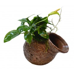 Deco Pot with Anubias Aquafleur