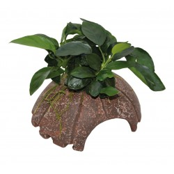 Deco Coconut with Anubias Aquafleur