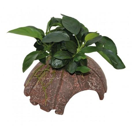 Deco Coconut with Anubias Aquafleur