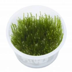 Taxiphyllum Spiky Moss AQUADIP In-Vitro