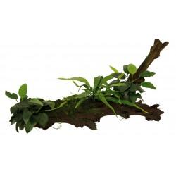 Driftwood with Anubias Microsorum & Moss Extra Large Aquafleur