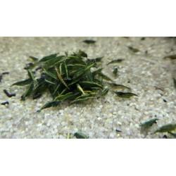 10x Green Jade Shrimp