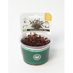 Alternanthera reineckii Mini Dennerle plant-it!