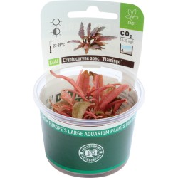 Cryptocoryne spec. Flamingo (in-vitro) Dennerle plant-it!