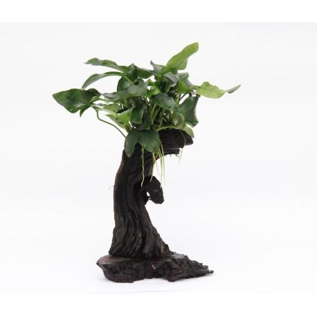 Mbuna Anubias Tree Dennerle Small 25cm