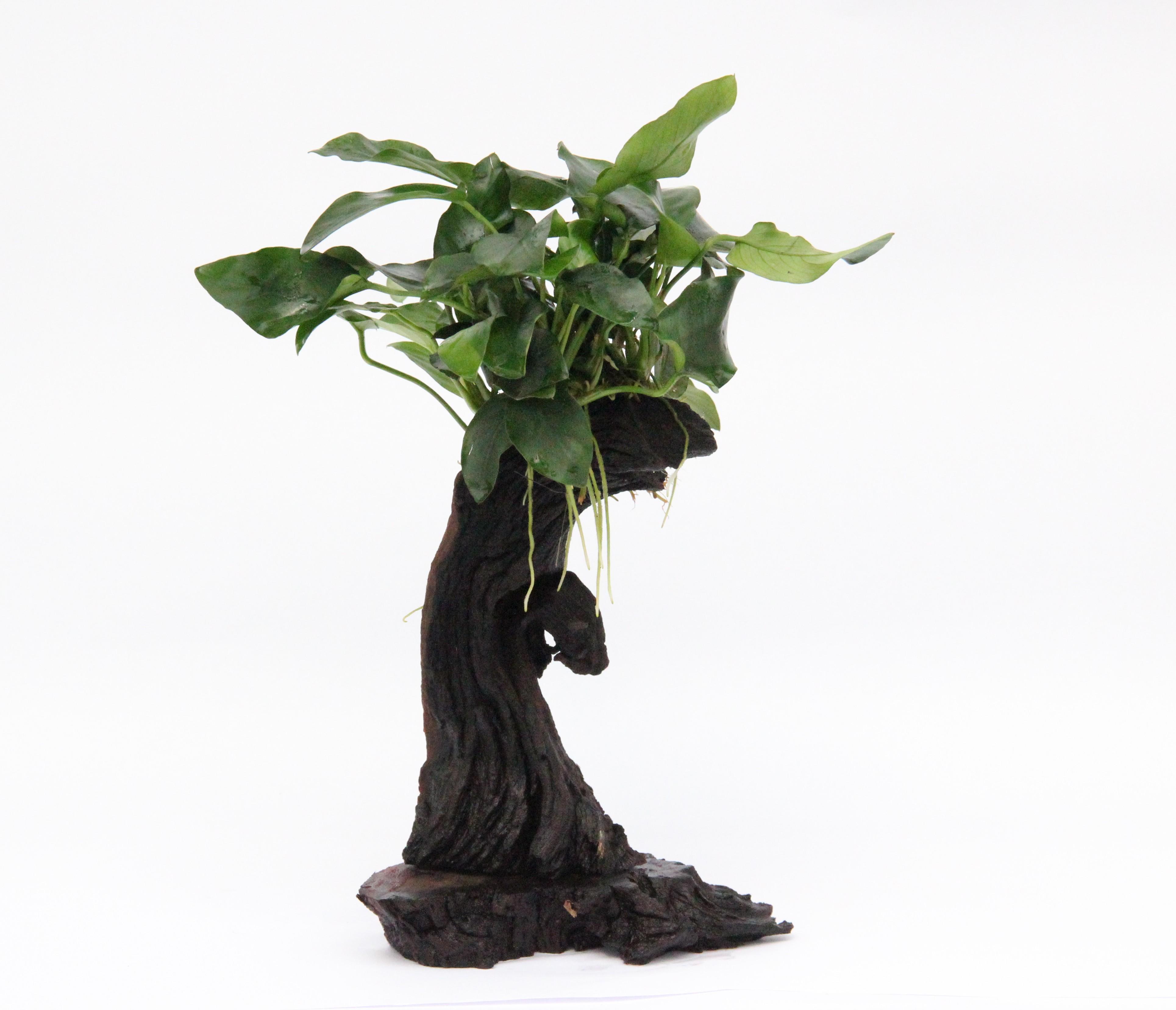 Dennerle Mbuna Anubias Tree Dennerle Aquarium Plant