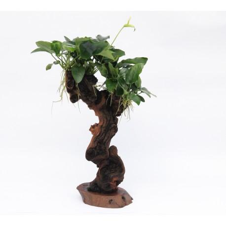 Mbuna Anubias Tree Dennerle Medium 35cm