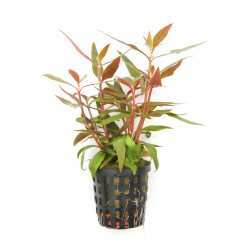 Alternanthera reineckii Mini Dennerle Pot