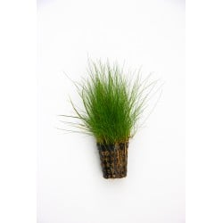 Hairgrass Elecoharis acicularis Dennerle Pot