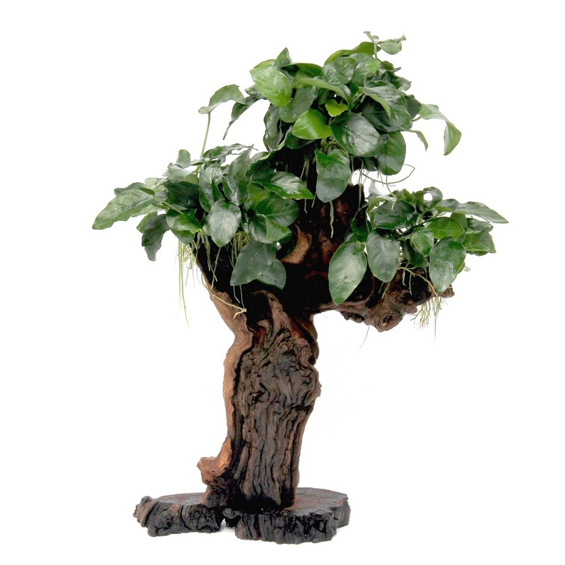 Bonsai Tree Anubias Bonsai Tree