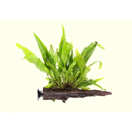 Dennerle Java Fern on Driftwood with suction cup