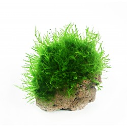 Dennerle Java Moss on Lava Rock