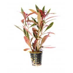 Ludwigia glandulosa Dennerle
