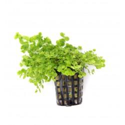 Micranthemum umbrosum Dennerle