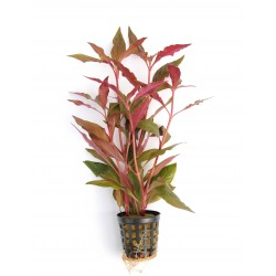 Alternanthera reineckii Red Dennerle