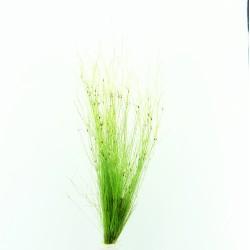Eleocharis vivipara Hairgrass Dennerle