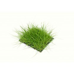 Eleocharis pusilla Hairgrass Pad 5x5cm