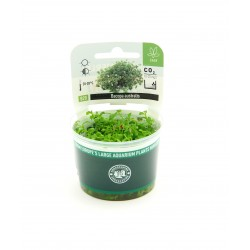 Bacopa australis Dennerle Plant It (in vitro)