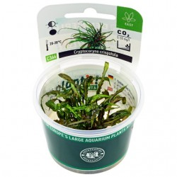 Cryptocoryne crispatula Dennerle Plant It (in vitro)