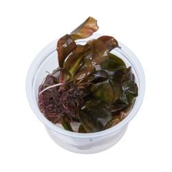 Tropica Echinodorus Reni 1-2-GROW