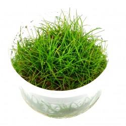 Tropica Eleocharis acicularis mini 1-2-GROW (Dwarf Hairgrass)