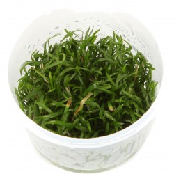 Tropica Lilaeopsis brasiliensis 1-2-GROW