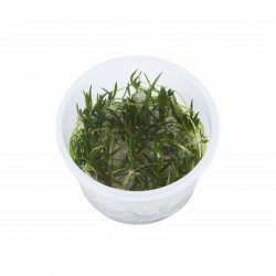 Tropica Littorella uniflora 1-2-GROW