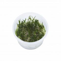 Tropica Littorella uniflora 1-2-GROW