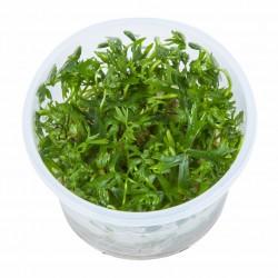 Tropica Ranunculus inundatus 1-2-GROW