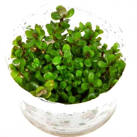 Tropica Rotala Bonsai 1-2-GROW