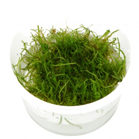 Tropica Taxiphyllum barbieri Java Moss 1-2-GROW