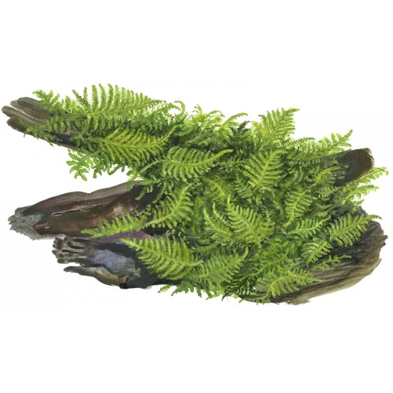 how to grow christmas moss fast