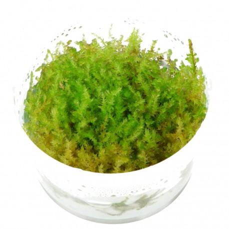 Tropica Vesicularia dubyana Christmas Moss 1-2-GROW