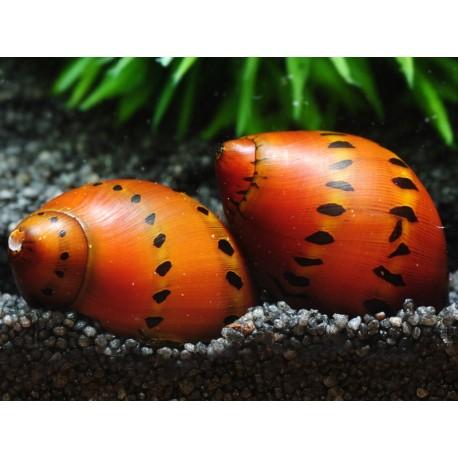 Tiger Orange Track Nerite Snail (Vittina semiconica)