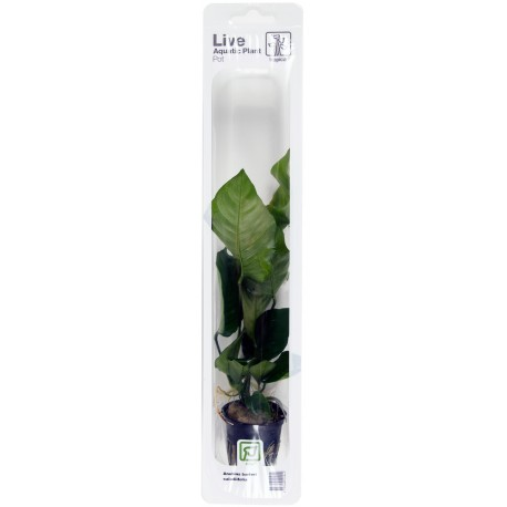 Anubias barteri caladiifolia Tropica (Single Package)