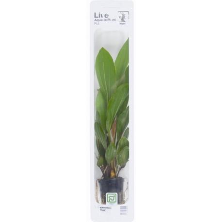 Echinodorus 'Rose' Tropica (Single Package)