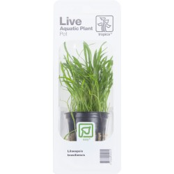 Tropica Lilaeopsis brasiliensis (Single Package)