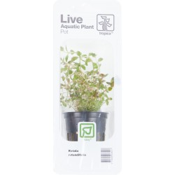 Rotala rotundifolia Tropica (Single Package)