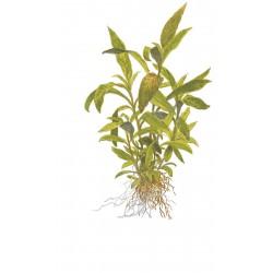 Hygrophila 'Siamensis 53B' Tropica (Mini Pot)
