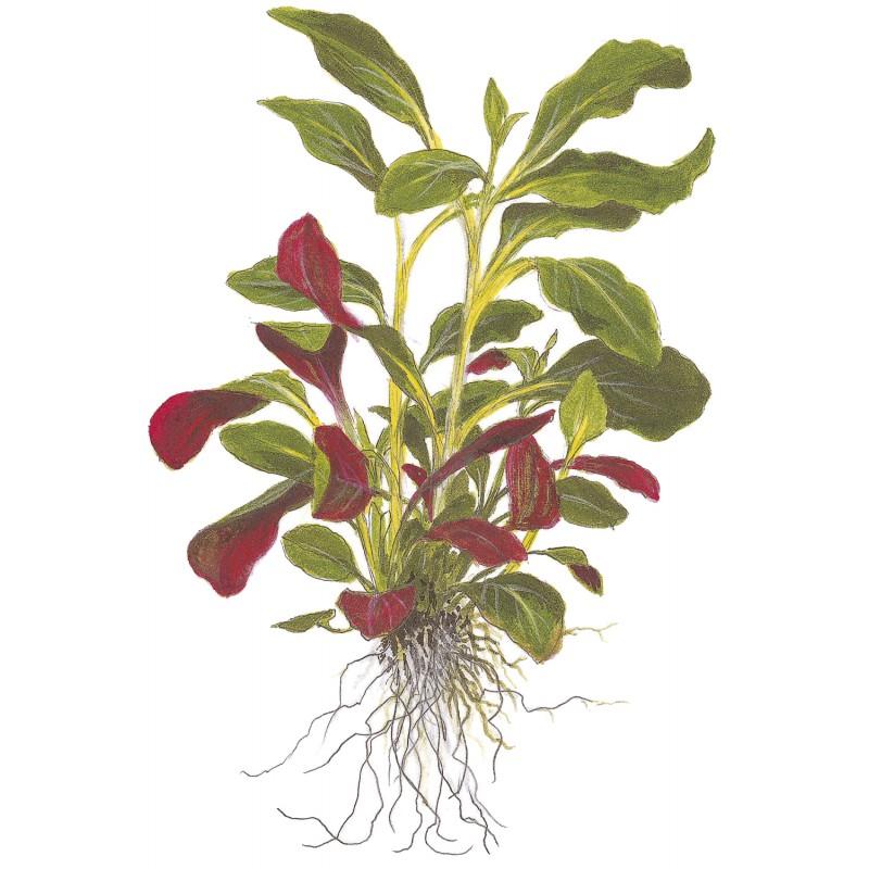 lobelia cardinalis tropica aquarium plant mini pots. Black Bedroom Furniture Sets. Home Design Ideas